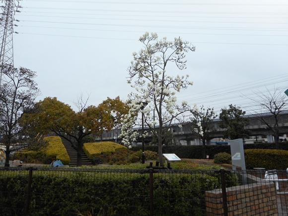 Kobusi雨 001