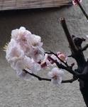 3月散歩中観た梅