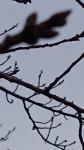 3月桜の芽