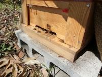 活動開始したミツバチ