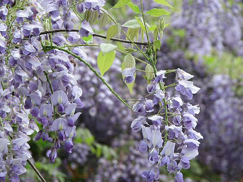05 500 ヤマフジ silky wisteria