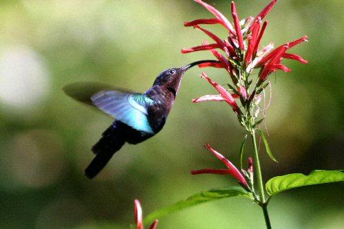 05 500 hummingbird