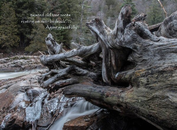 04c 600 20151224 (木) twisted old tree roots