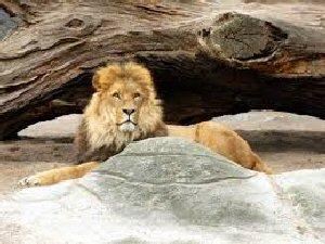 04b 300 relaxed lion