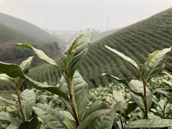 2018年2月安吉白茶-1