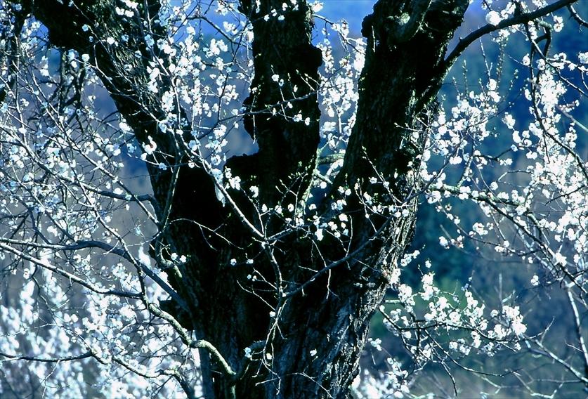 sakura1a_R.jpg