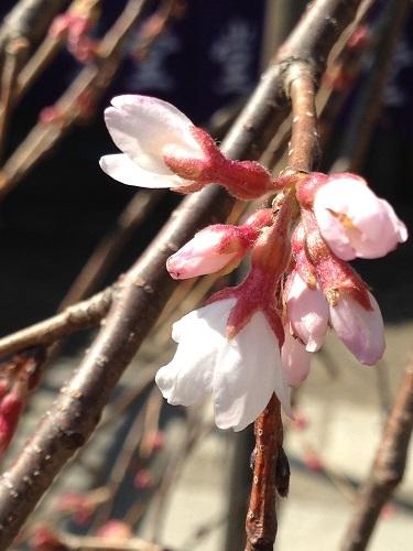 枝垂桜180316-2