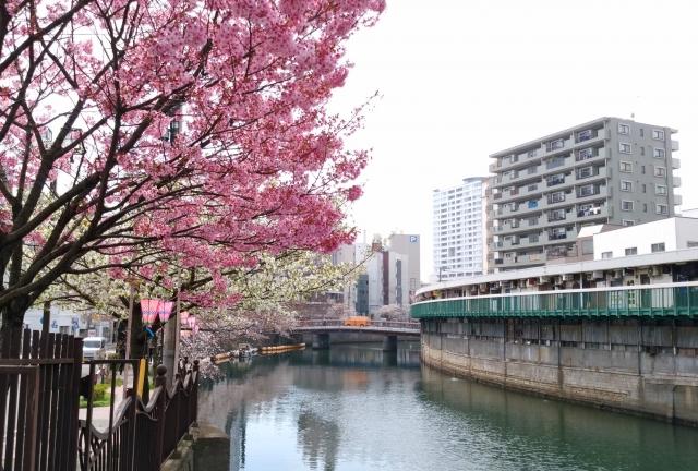 野毛桜20180300001