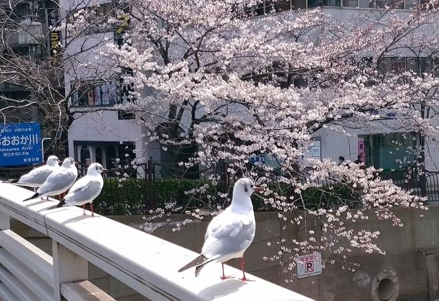 野毛桜20180300002