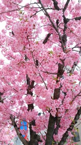 野毛桜20180300005