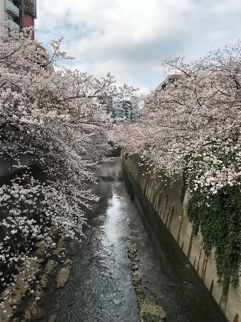 sakura-kannda324.jpg
