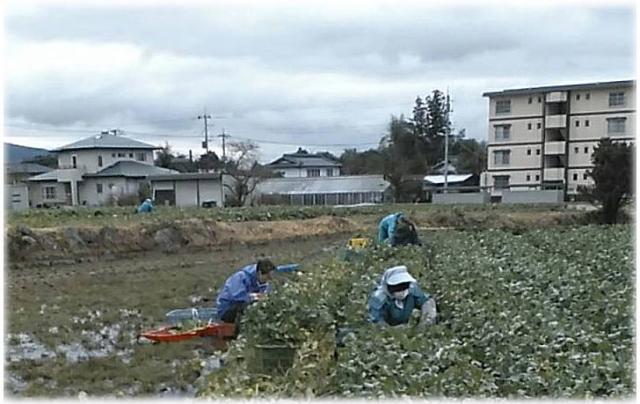 水かけ菜の収穫