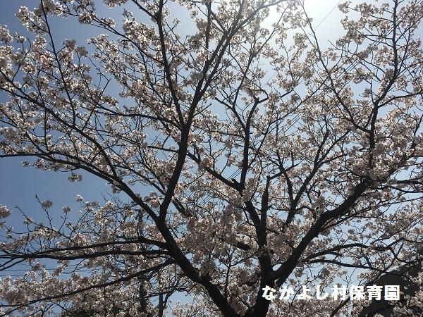 180329花見1