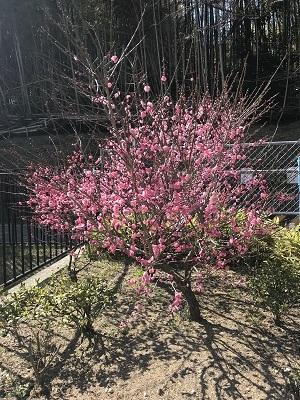 180227梅の花