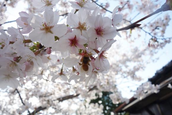 2018桜01-01