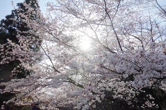 2018桜01-03