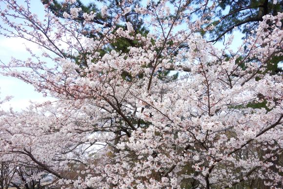 2018桜01-05