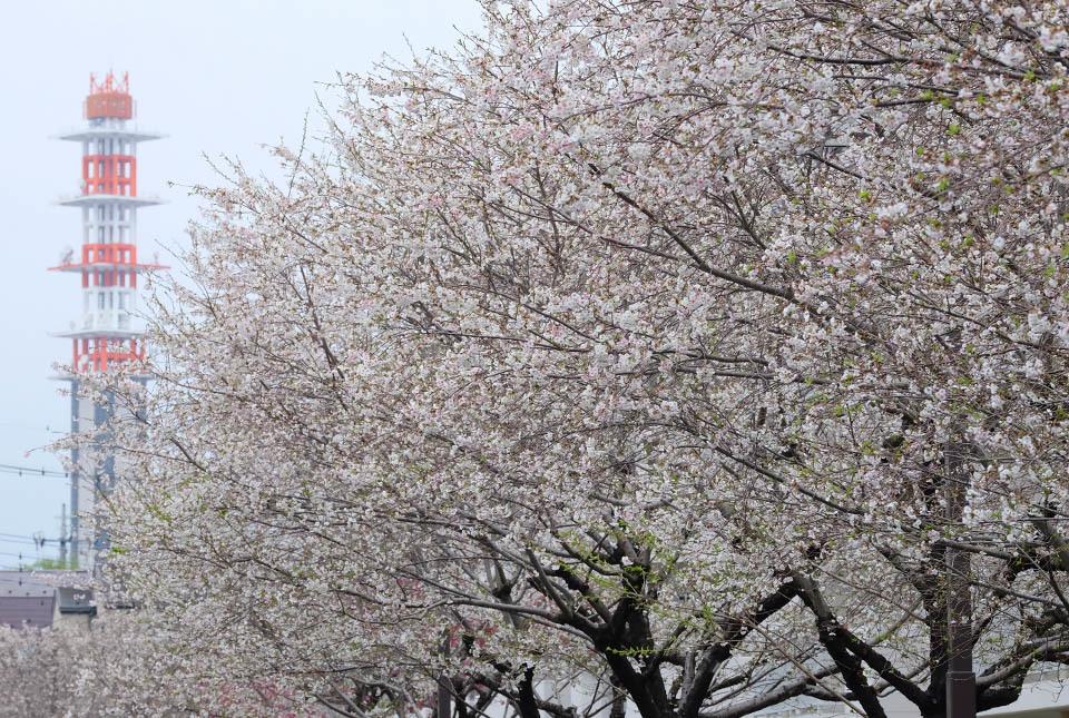 1030 十月桜 960×645