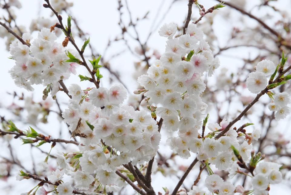 1040 十月桜 960×645