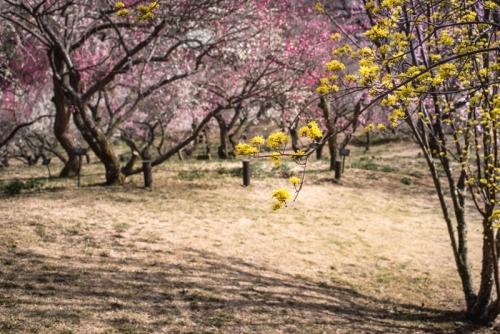 森林公園梅林