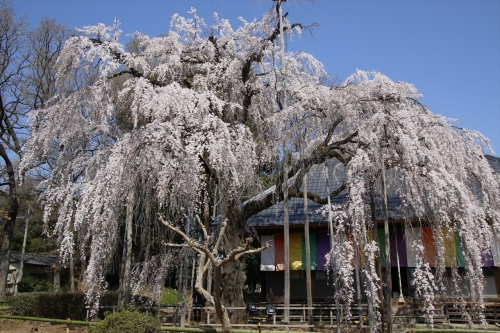 慈眼寺の枝垂桜