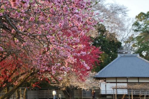 ハナモモと桜