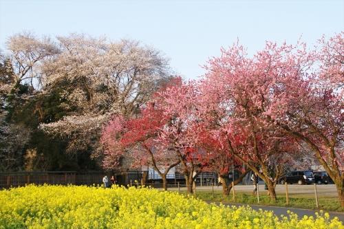 菜の花が咲いているところからお寺を撮影