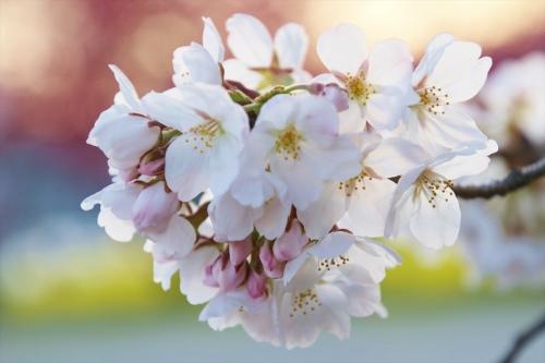 桜の向こうにハナモモと菜の花1