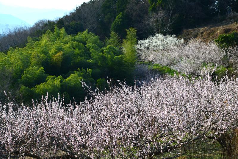 梅薫る山郷2