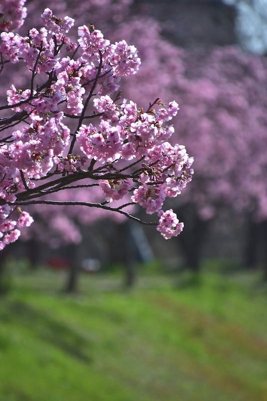 陽光桜と山桜