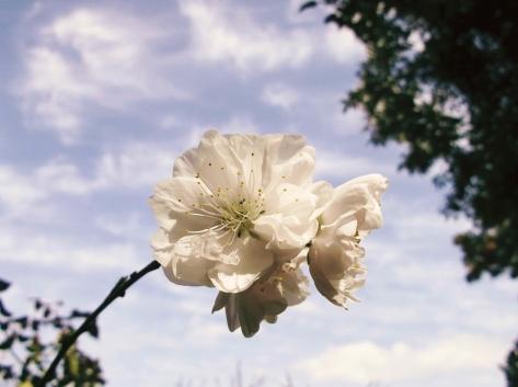 花桃 白1