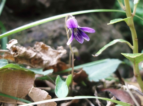 濃紫スミレ