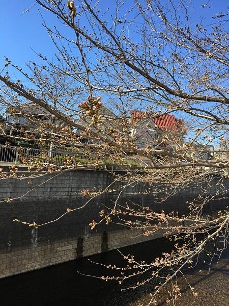 h30,3河川敷の桜のつぼみ