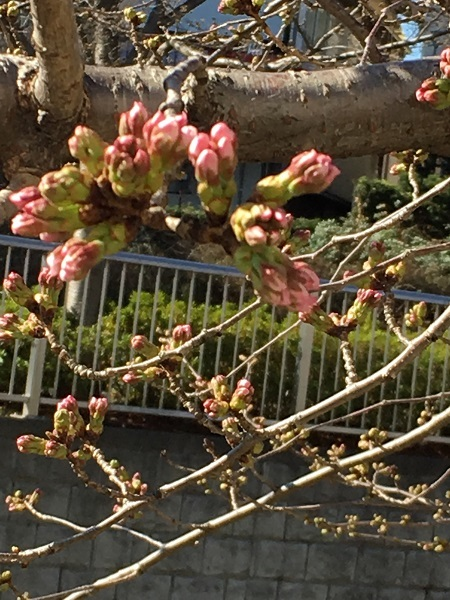 h30,3河川敷の桜のつぼみアップ