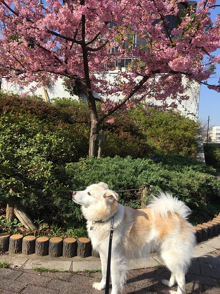 h30,3早咲きの桜の前で