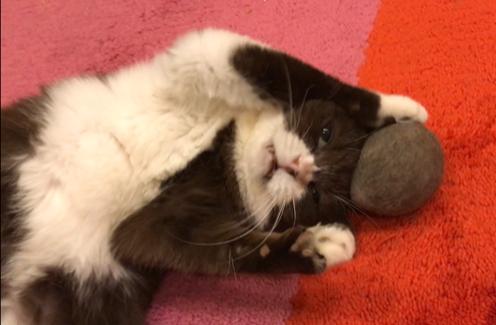 猫のチョコ、ラグビーに挑戦なのよ!