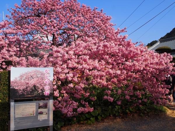 2018河津桜(12)