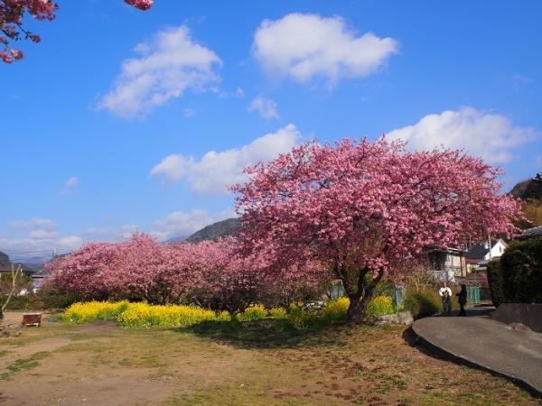 2018河津桜(20)