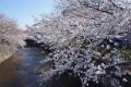 恩田川沿い桜2