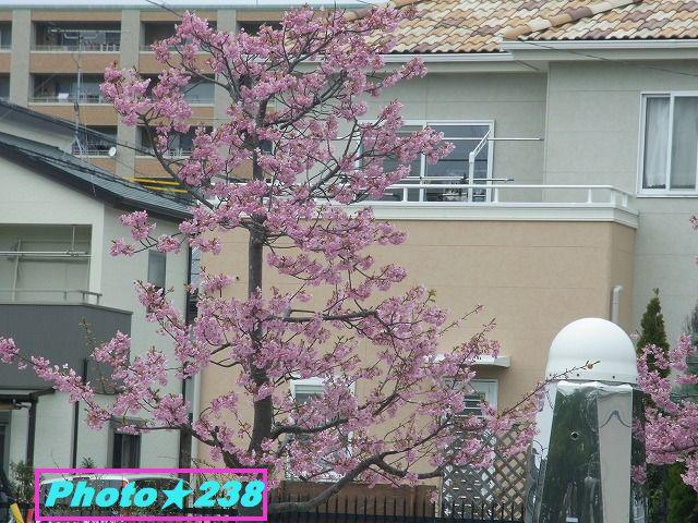 公園の河津桜③