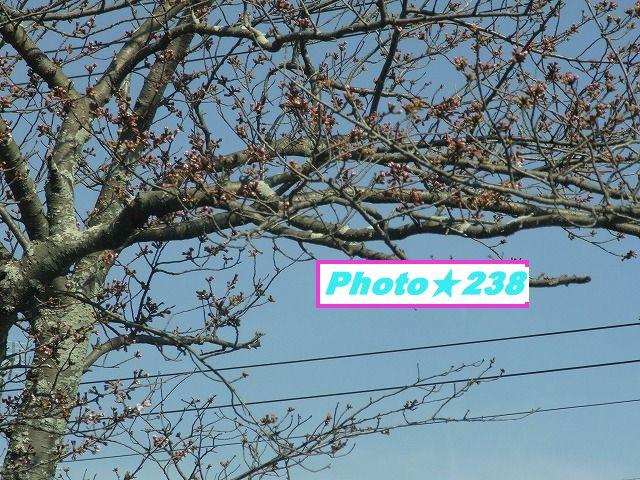 0318-桜①
