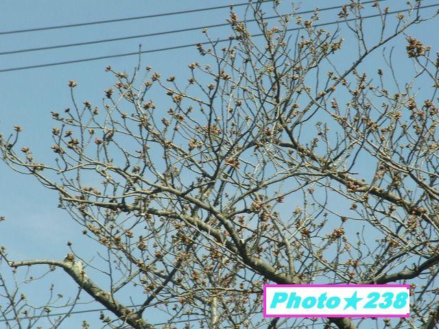 0318-桜②
