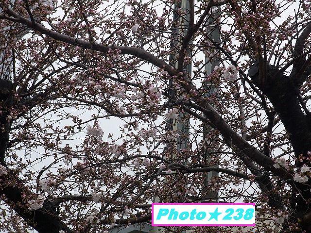 2018の桜開花。
