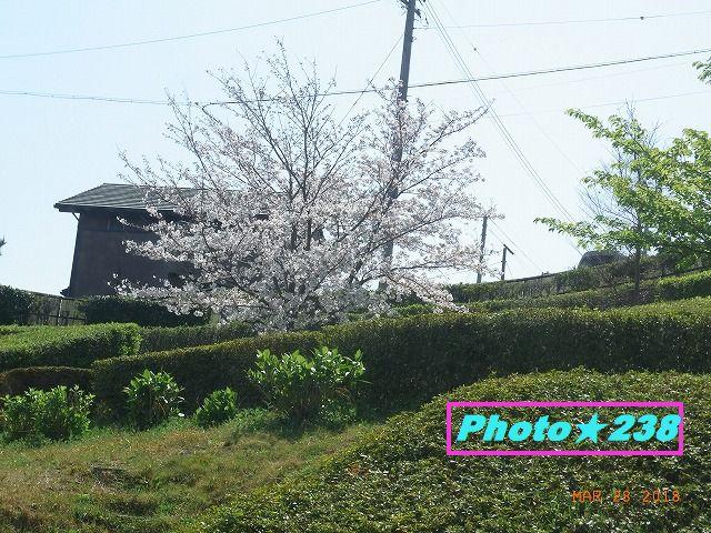 正面の桜。