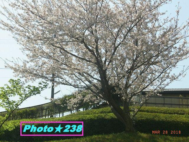 正面の桜②。