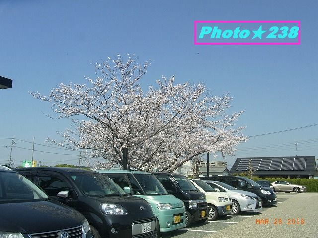 南側の桜。