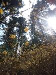 太陽とミツマタ