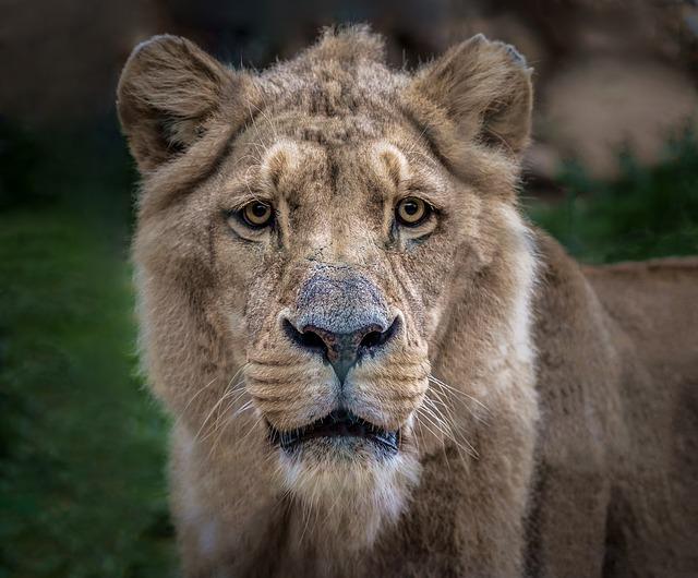 困り顔のライオン