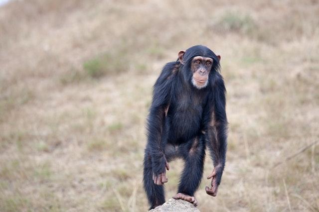 フラフラするチンパンジー