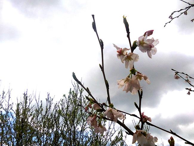 ニワトリノニワに桜咲く